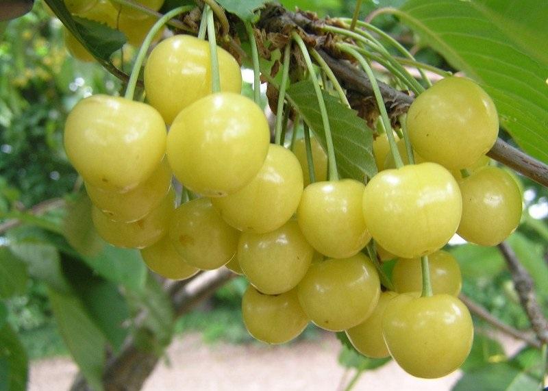 Ягоды черешни сорта Чермашная