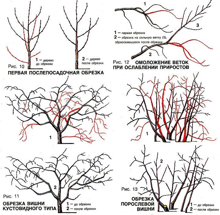 Обрезка и омоложение войлочной вишни