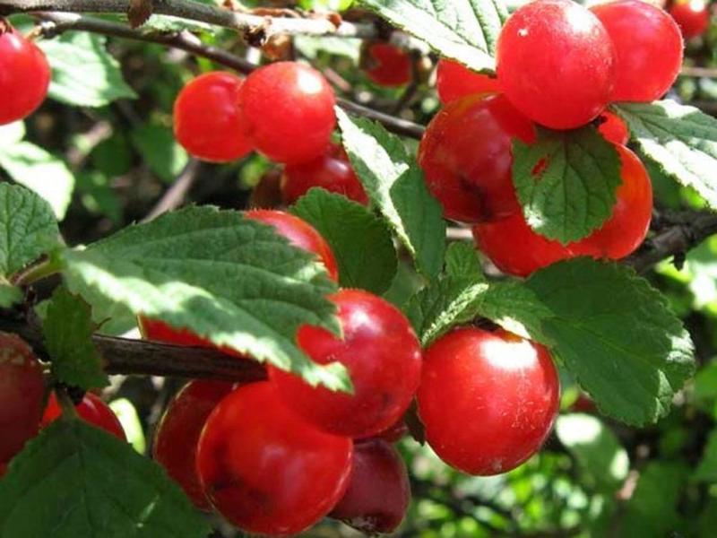 Войлочная вишня сорт Натали