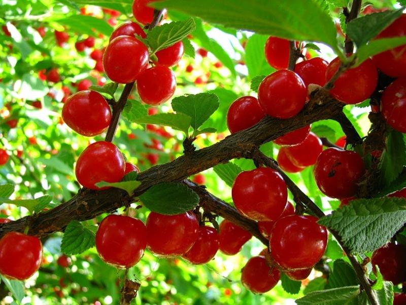 Ягоды войлочной вишни сорта Царевна
