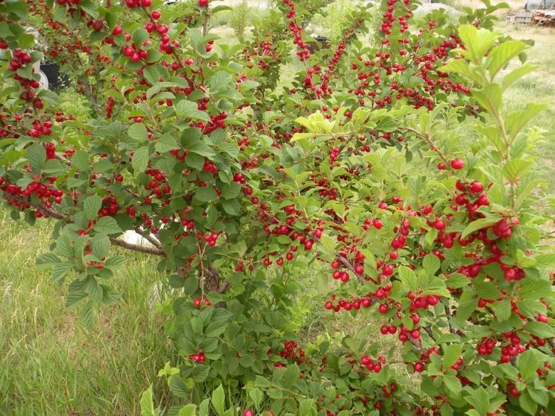 Кусты войлочной вишни в саду