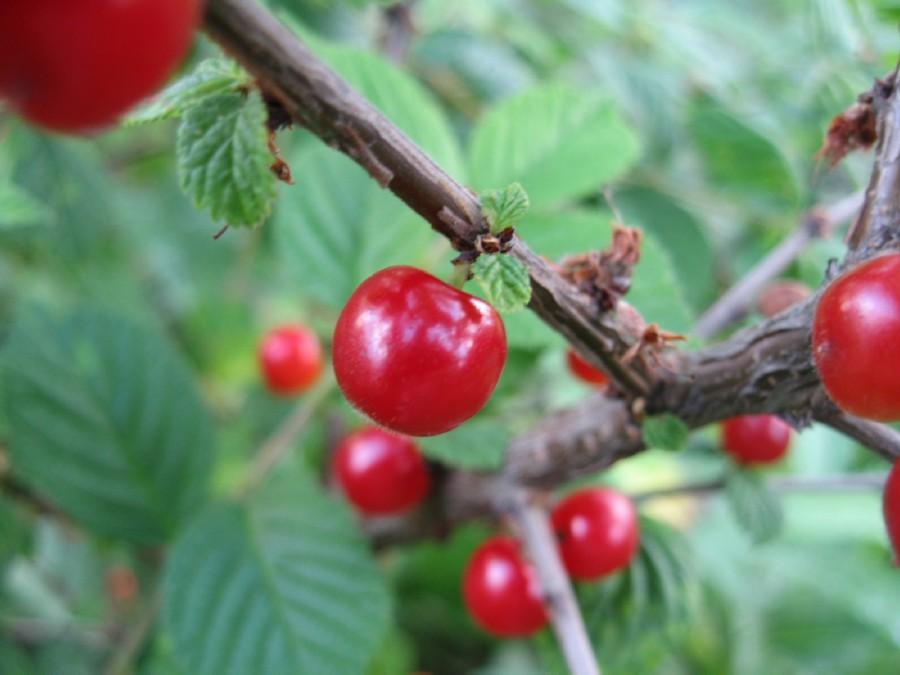 Ягоды войлочной вишни Сказка