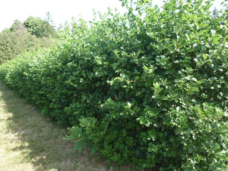 Живая изгородь из войлочной вишни