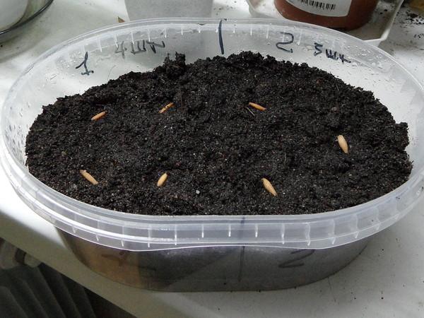 Семена адениума в горшке