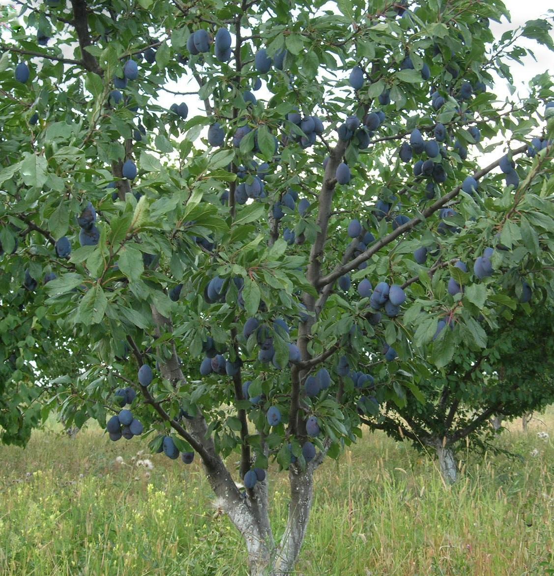Интенсивное выращивание сливы 62