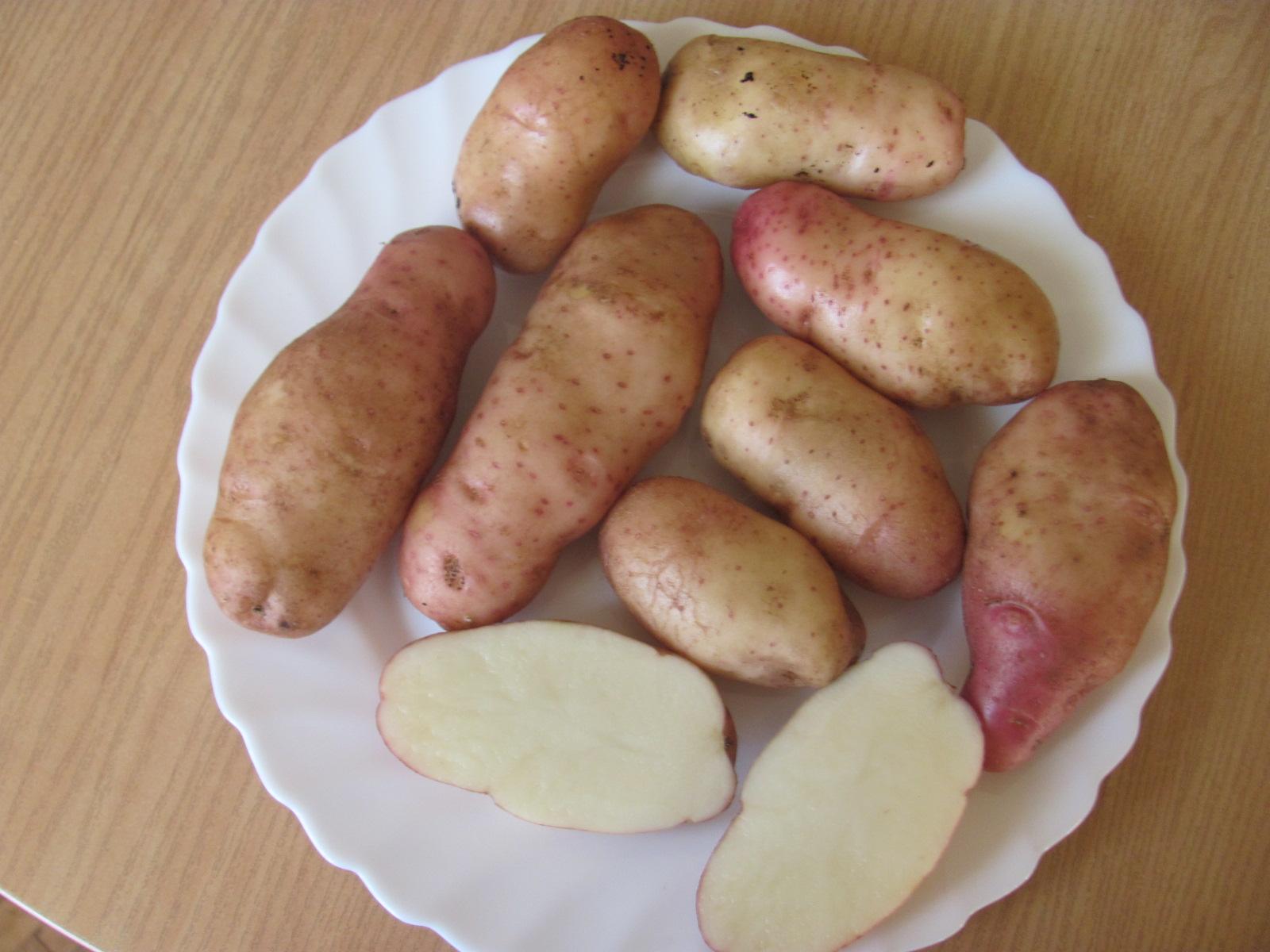 картофель кубанка описание сорта фото