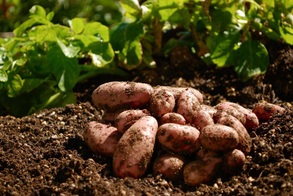 Картофель сажать под зиму 7