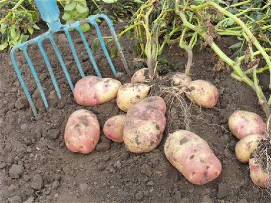 Клубни картофеля на земле