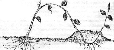 Размножение малины верхушечными отводками