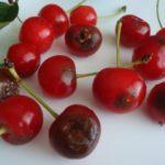 Гнилые ягоды вишни
