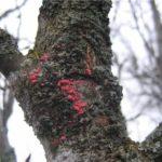 Проявления цитоспороза на коре дерева