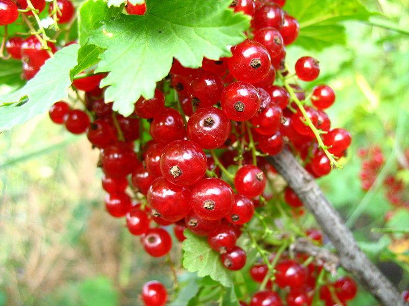 Зрелые ягоды смородины