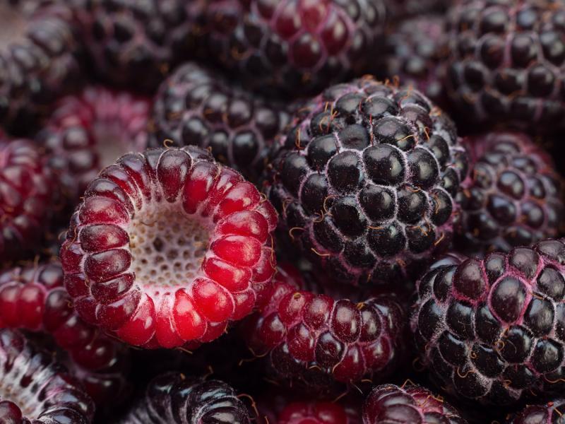 Плоды чёрной малины сорта Кумберленд