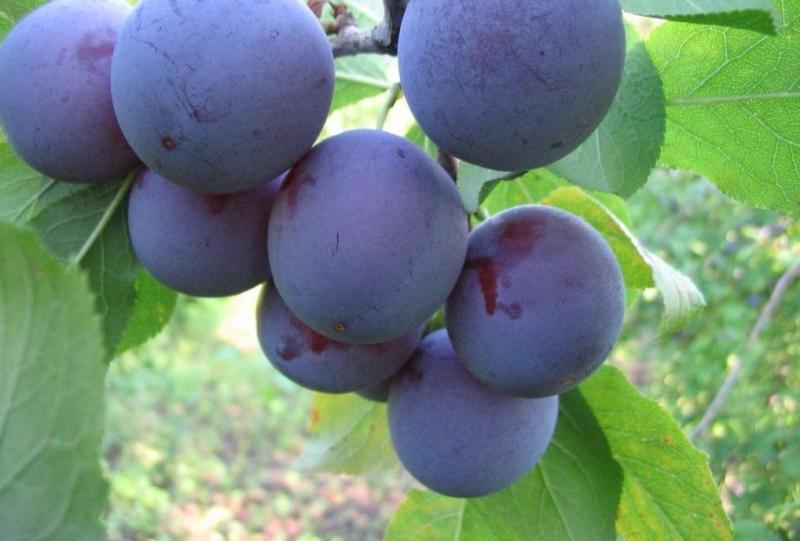 Плоды сливы Евразия на ветке