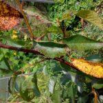 Проявления коккомикоза на листьях