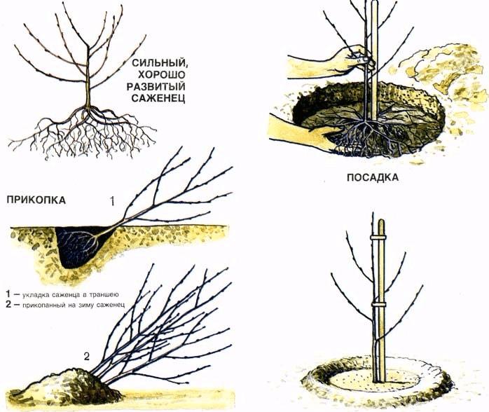 Схема прикопки и посадки саженца