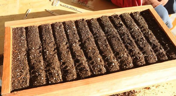 Высаженные в грунт дочерние луковицы гименокаллиса