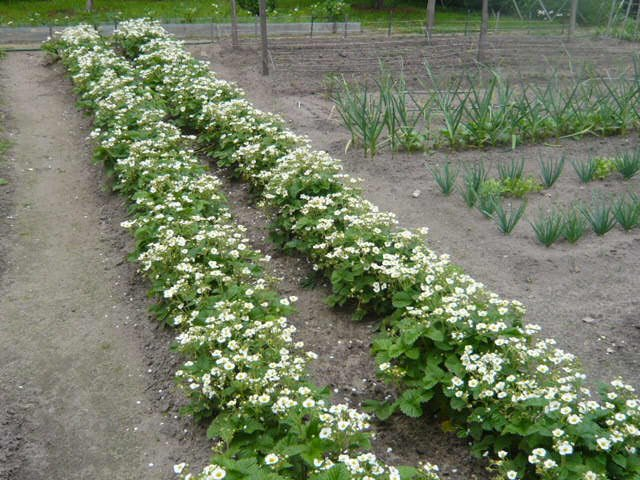 Выращивание и уход за земляникой 41