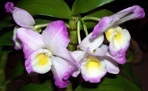Цветки дендробиума Нобиле