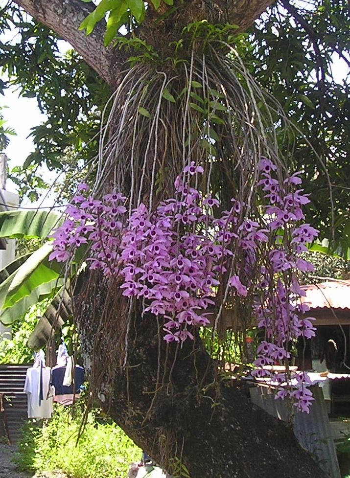 Орхидея дендробиум Нобиле в природе