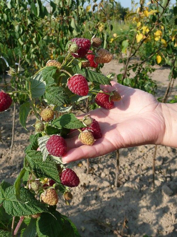 Малина геракл выращивание и уход 15