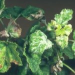Вредители чёрной смородины