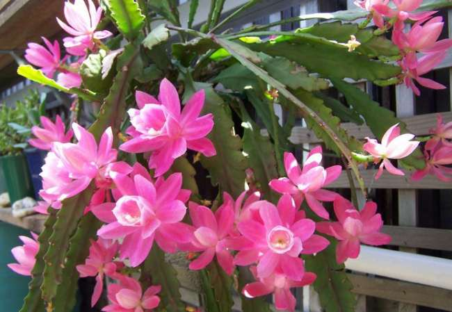 Лесной кактус