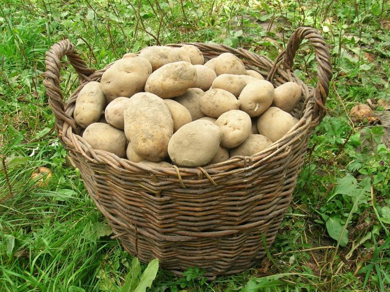 картофель сорта Скарб