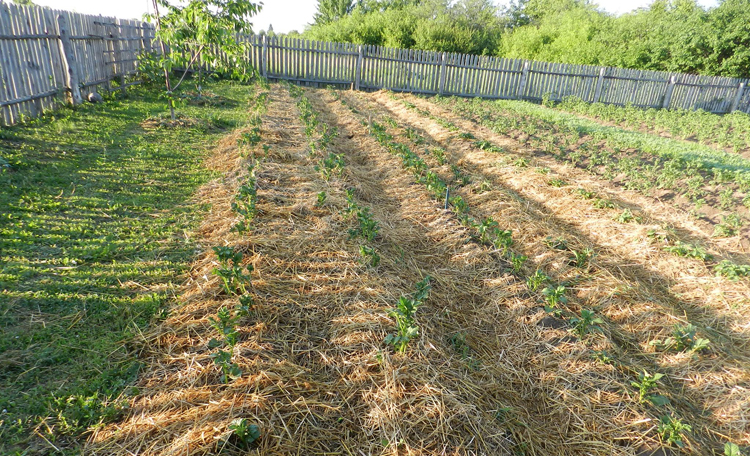 Кусты картофеля под соломой