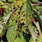 Многочисленные дыры на листьях черешни