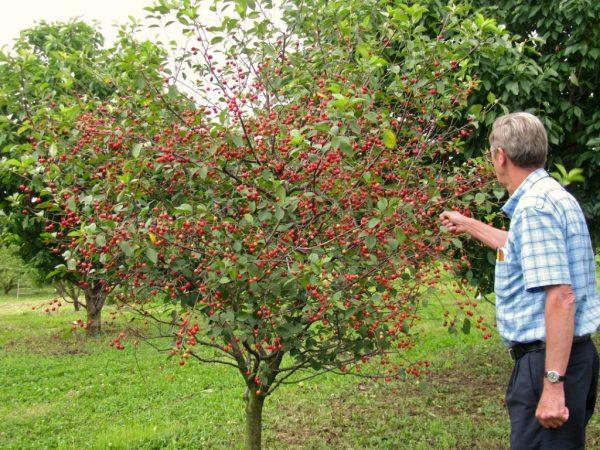 Молодое дерево черешни Фатеж