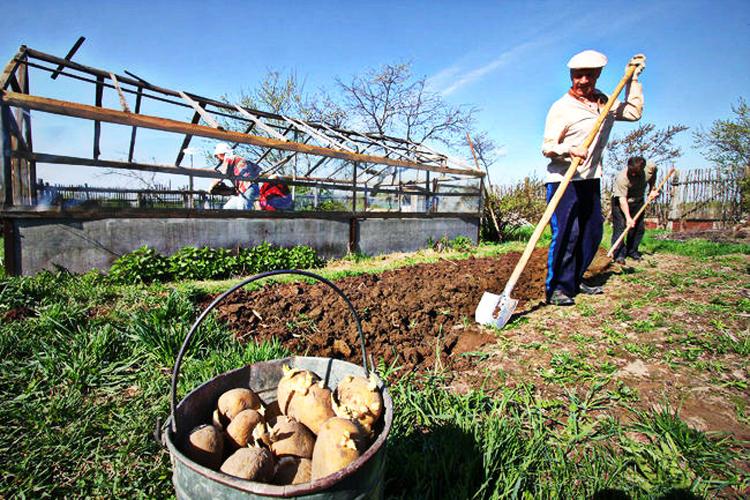 Подготовка земли к посадке картофеля