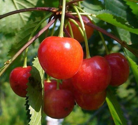 Плоды черешни Фатеж