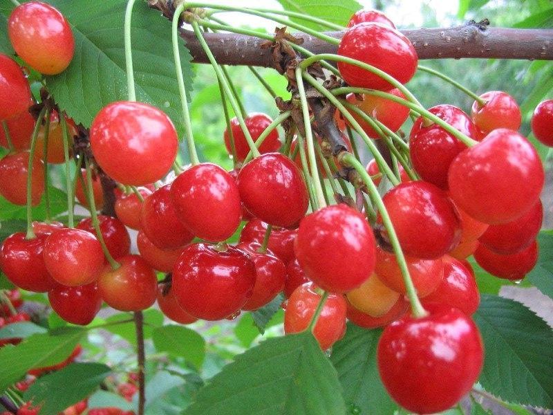 Россыпь плодов черешни
