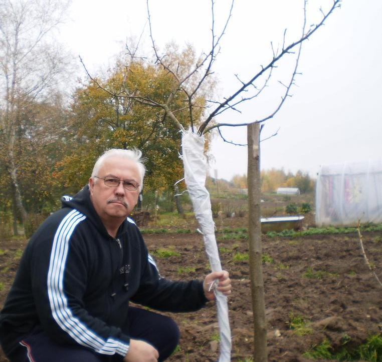 Садовник со сливой, укрытой на зиму