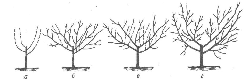Схема обрезки сливы вазообразного типа