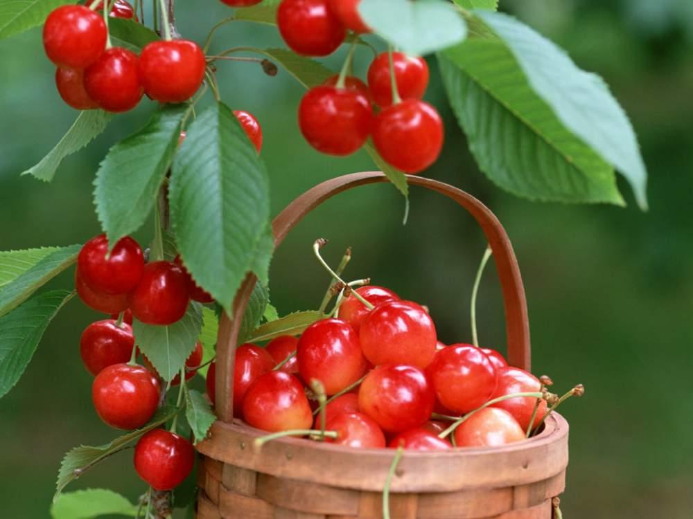 Урожай черешни в коробе