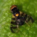 Вишнёвая муха на листе