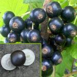 Плоды смородины Ядрёная