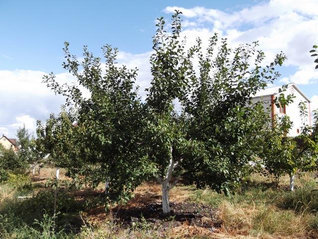 Дерево сливы Волжская красавица