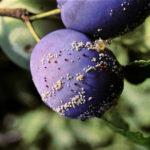 Монилиоз плодов сливы
