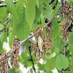 Монилиоз (плодовая гниль) ветки