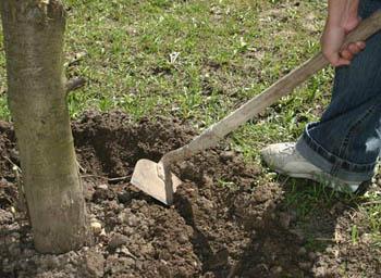 Рыхление почвы в приствольном круге
