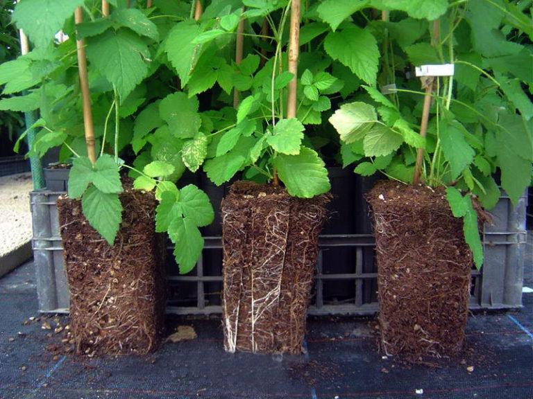 Выращивание саженцев с закрытой корневой системой 59