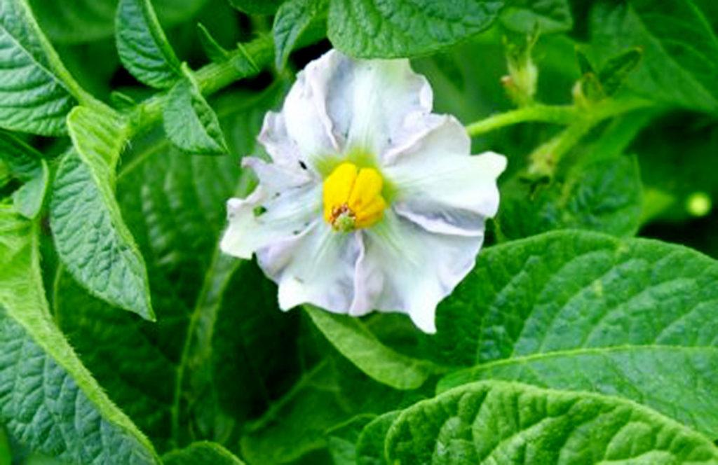 Цветок картофеля сорта Иван-да-Марья