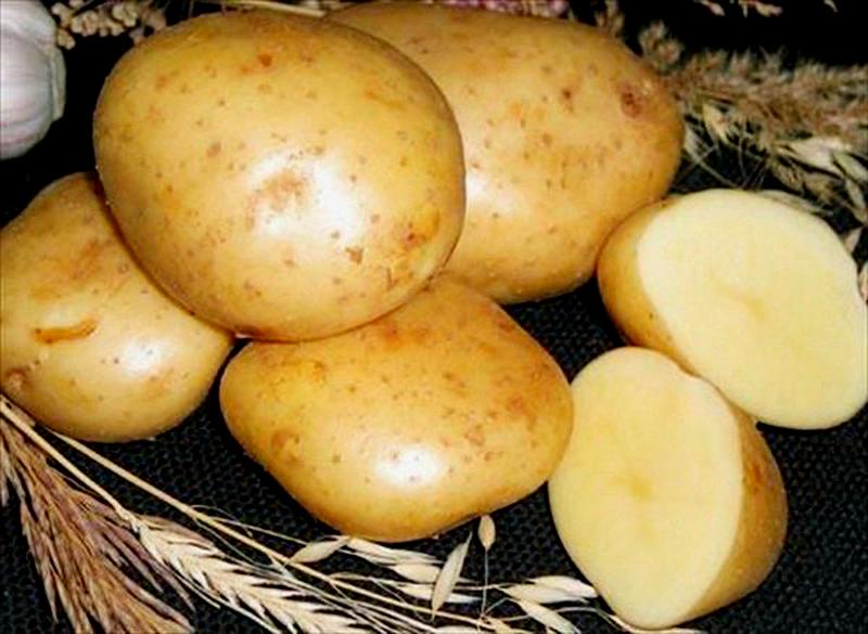 Гибридный сорт картофеля Гала