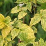 Хлороз на листьях малины