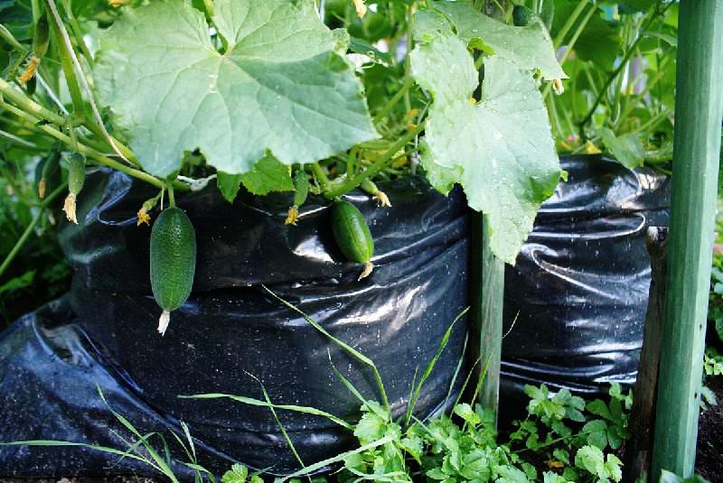 как правильно сажать семя огурца в землю