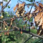 Плодовая гниль (монилиоз) побегов вишни
