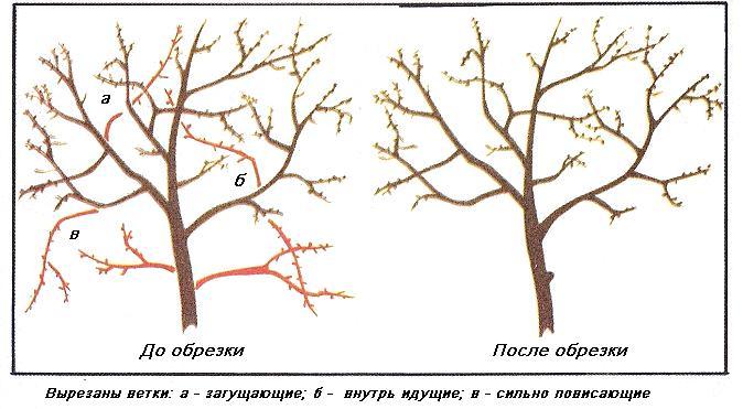 Прореживающая обрезка вишни